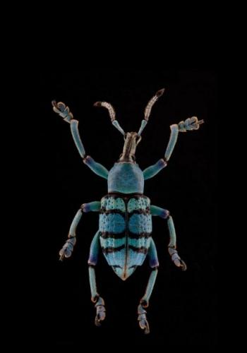 JAMES TURNER - Beetle 2 - Eupholus Magnificus